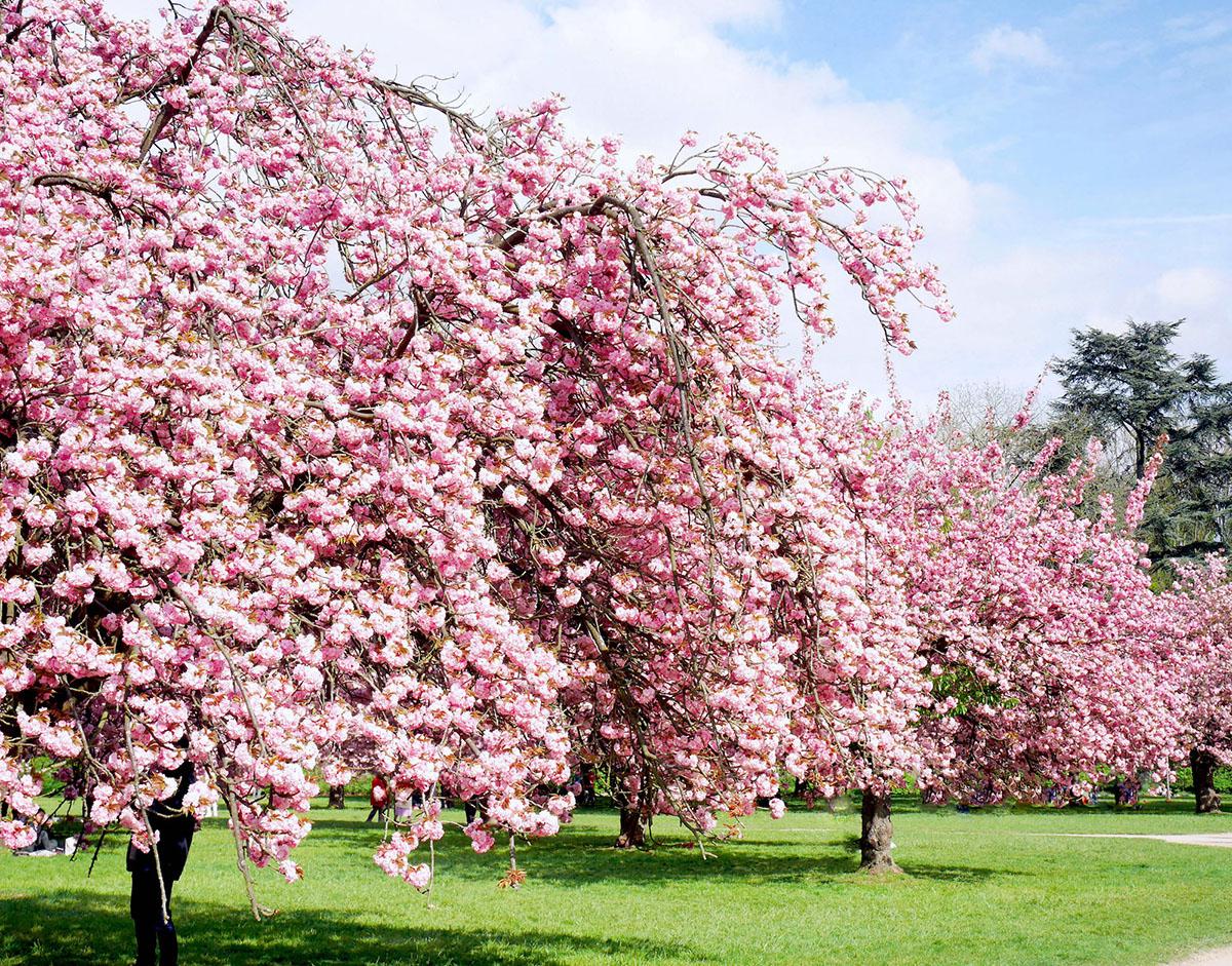 16 la f te du cerisier japonais le hanami p querettes for Salon de the japonais paris